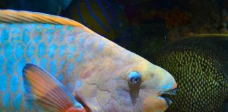 Fijian Fish - Parrot Fish