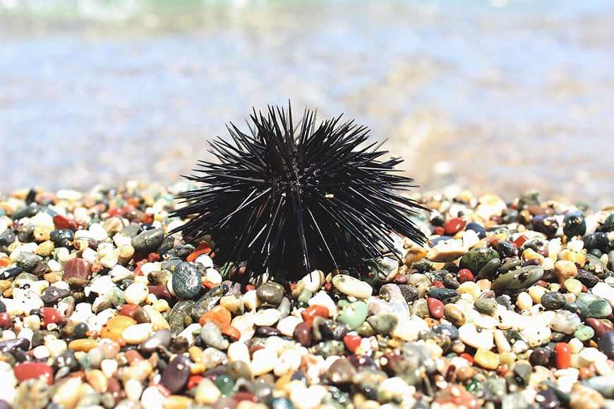 Fijian Fish - Sea Urchin