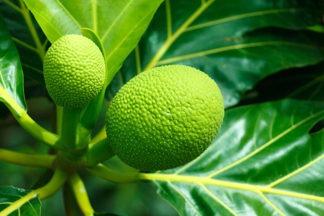 Breadfruit Flour