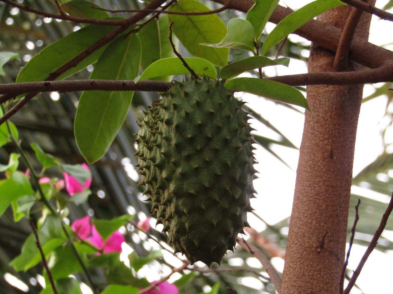 Fruits in Ghana - Soursop