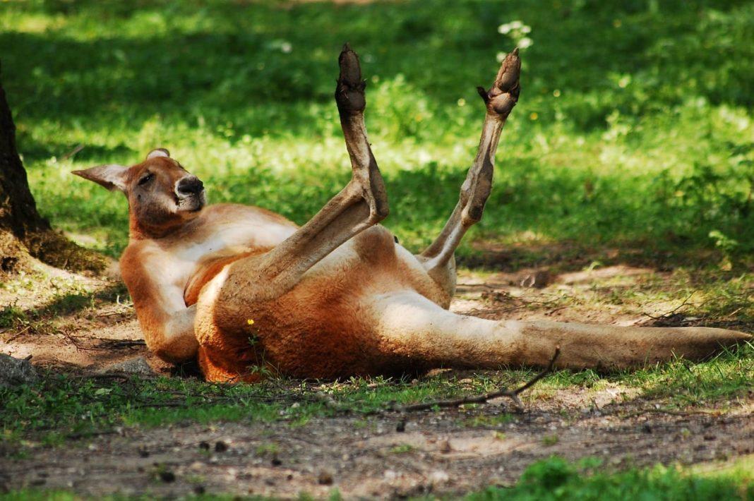 best kangaroo jerky