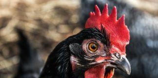 Black Chicken Benefits